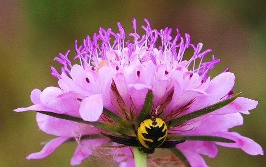 Thomise Globular, Insect, Flowers