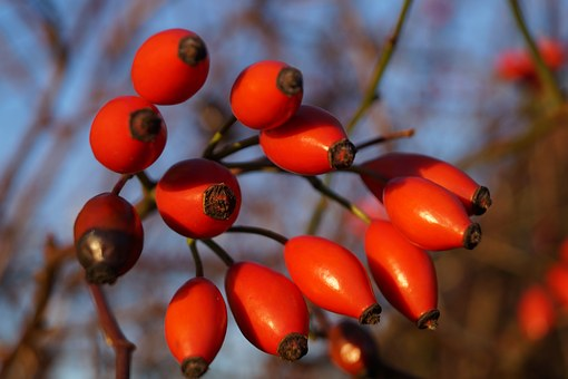 The Rosehip Fruits, Rose Hips, Autumn Fruits, Macro