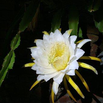 Night, Flower, Epiphyllum, Orchid Cactus, Cactus
