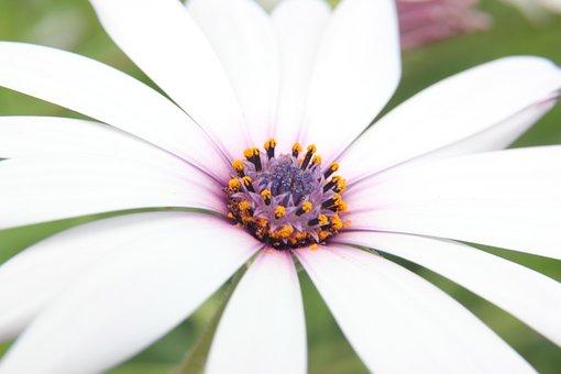 Osteospermum, Flower, White, White Flower, Nature