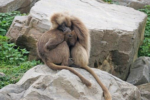 Primates, Dscheladas, Pair, Cold, Warm