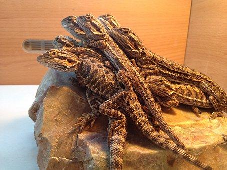 Lizards, Beardies, Bearded Dragon, Pet, Bearded, Young