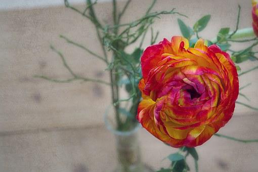 Flower, Ranunculus, Blossom, Bloom, Petals, Yellow, Red
