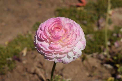 Ranunculus, Pink, Flower, Blossom