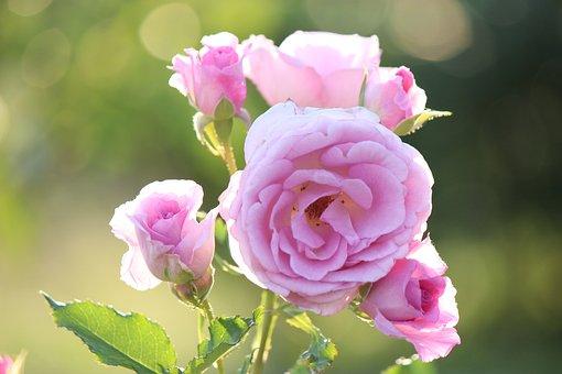 Rose, Fukushima, Azuma Sports Park, Pink