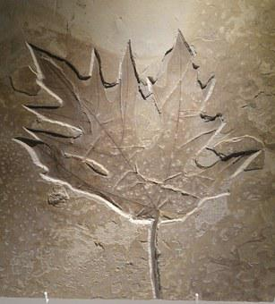 Acer, Leaf, Eocene, Imprint, Shape, Fossile, Plant
