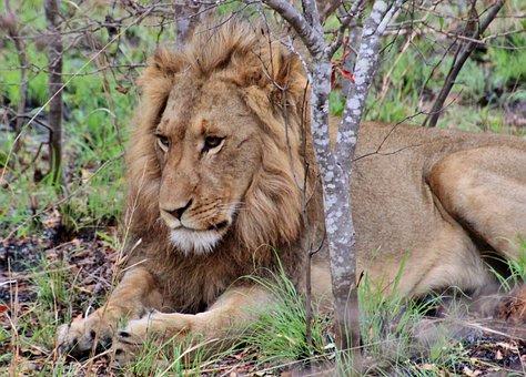 Lion, Safari, Africa, Male, Portrait, Animal World