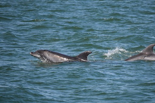 Dolphins, Sea, Sims, Bottlenose Dolphin, Play
