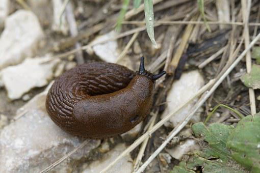 Snail, Slug, Crawl, Away, Slowly, Mollusk, Brown