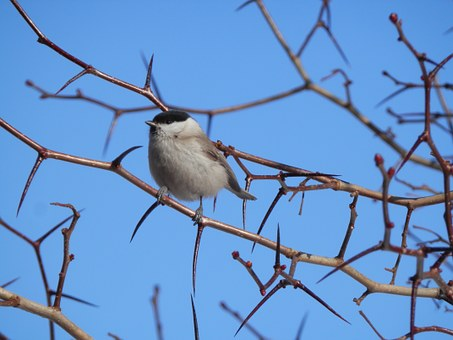 Black-capped Chickadee, Small Bird, Branch, Nature