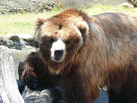 Brown Bear, Sofia Zoo, Beast
