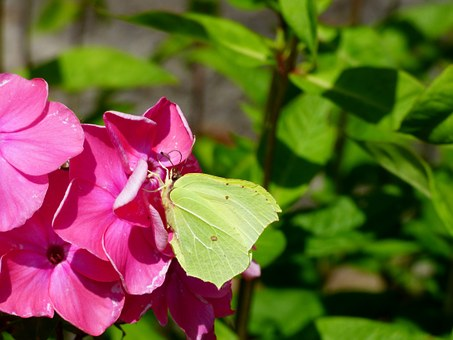Brimstone, Butterfly, Pink Flower, Bug, Spring, Nature