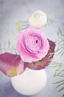 Ranunculus, Flower, Blossom, Bloom, Spring, White, Pink