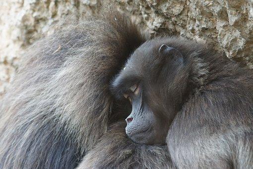 Dschelada, Ape, Primates, Pair, Winter