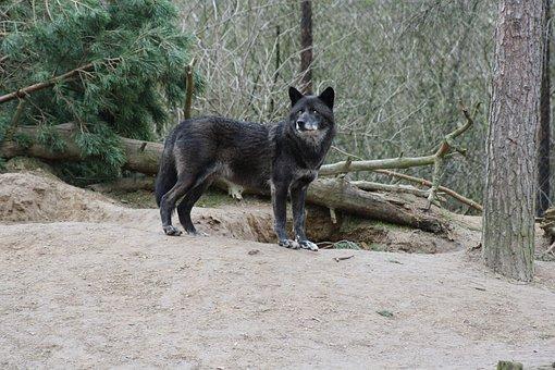 Wolf, Animal, Wilderness, Carnivores, Wild Animal