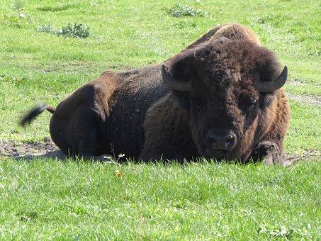 Bison, Kurozweki, Animal
