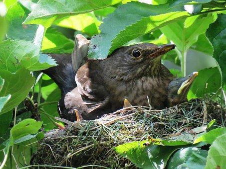 Blackbird, Nest, Blackbird Nest, Bird's Nest