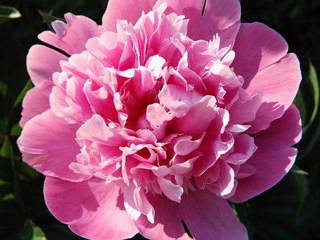 Peony, Pink, Blossom, Bloom, Flower