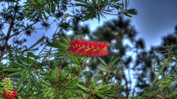 Flowers, Bottle Brush, Weeping Bottle Brush