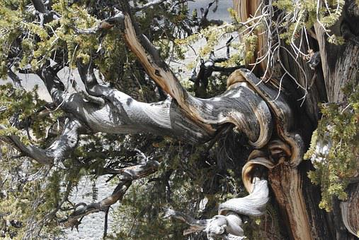 Bristlecone Pine, Sierras, Mountains, Tree, Nature, Old