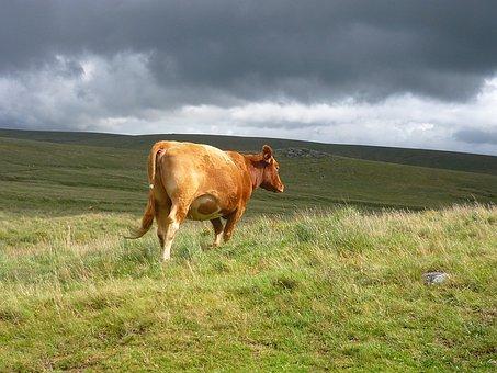 Cow, Cattle, Livestock, Dartmoor, Farm, Animal
