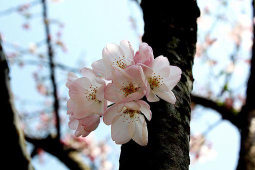 Cherry Blossom, Early Spring Scent, Delicate