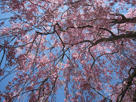 Tree, Flowering Tree, Pink Flowers, Cherry Blossoms