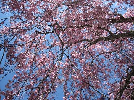 Tree, Flowering Tree, Pink Flowers, Cherry Blossoms