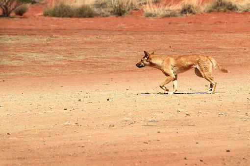 Dingo, Wildlife, Australia, Wild, Dog, Animal