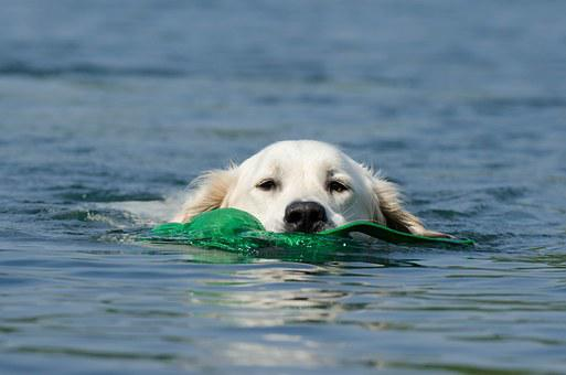 Golden Retriever, Dog Retrieves, Dog In The Water