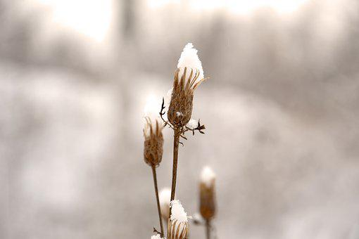 Bud, Winter, Frost, Plant, Dry Plant, Snow, Nature