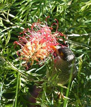 Grevillea, Myna Bird, Native, Bird, Fly, Flower, Wings