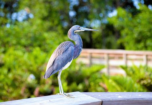 Blue Heron, South Florida Bird, Heron, Bird, Nature