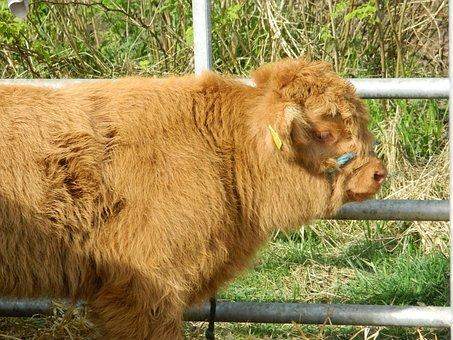 Cow, Cattle, Highland, Scotland, Show, Livestock