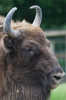 Wisent, European Bison, Horned, Bull, Beef