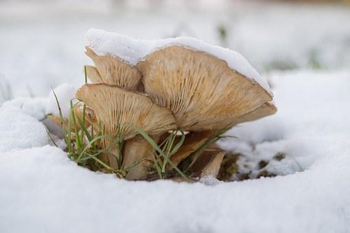 Mushroom, Snow, Nature, Fungus, White, Cold, Forest