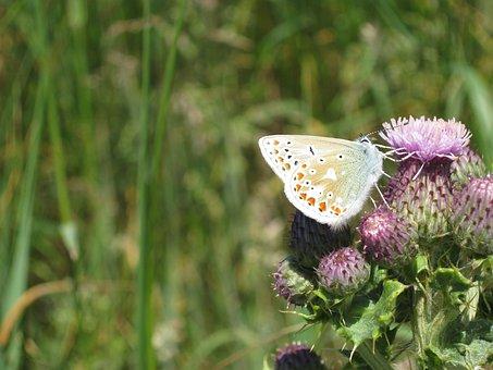 Butterfly, Thistle, Sligo, Nature