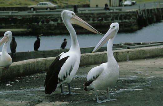 Glasses Pelicans, Pelikan, Pelicans, Pelecanidae