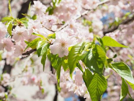 Cherry Blossoms, Weeping Cherry, Pink, Flowers