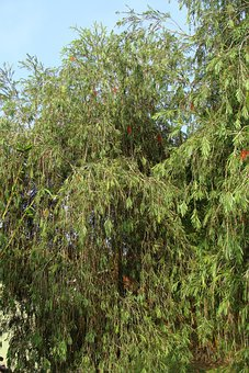 Weeping Bottle Brush, Callistemon Viminalis, Tree
