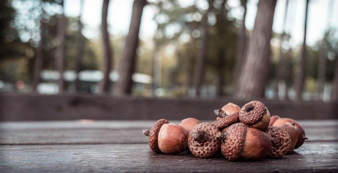 Acorn, Acorns, Autumn, Oak, Nature, Forest, Fall