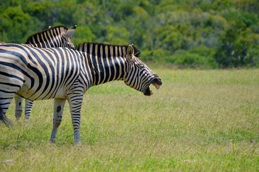 Zebra, Laughing, Animal, Wildlife, Wild, Africa