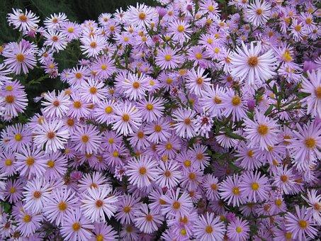 Aster, Flowers, Autumn, Garden, Purple, Voplet, Petals