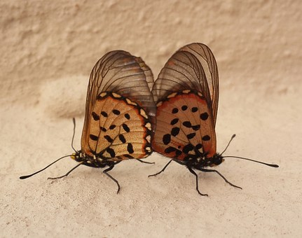 Two, Butterfies, Mating