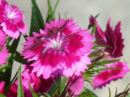 Carnation, Flower, Blossom, Bloom, Bush Elke, Pink