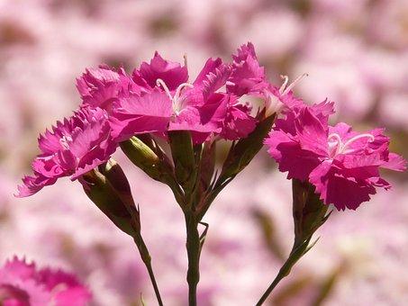 Bush Elke, Carnation, Flower, Flora, Pink