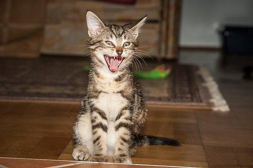 Tiger Room, Cat, Yawn, Tooth, Cat Tongue, Pet, Cat Face
