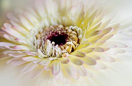 Chrysanthemum, Close, Flower, White, Soft Pink