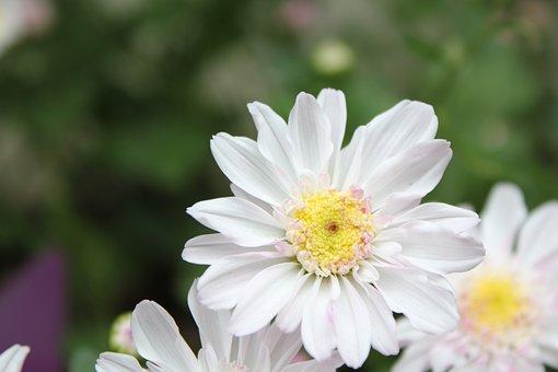 Chu Chrysanthemum, Flower, Hua Xie
