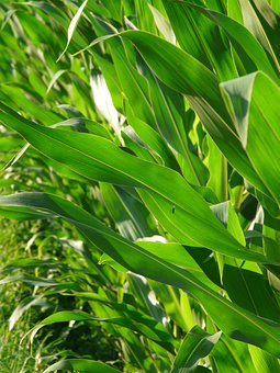 Corn Leaves, Corn, Leaves, Green, Color, Colorful